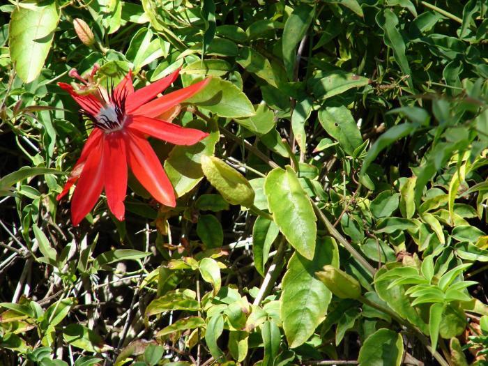 Passiflora manicata image