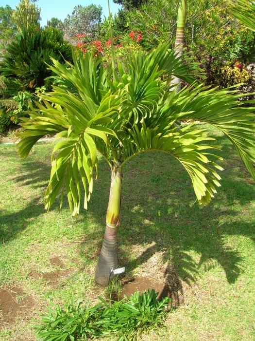 Adonidia merrillii - Christmas Palm