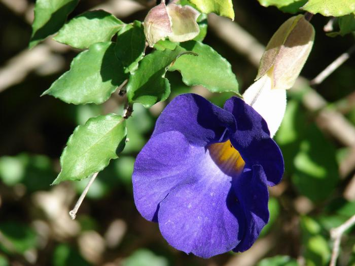 Thunbergia erecta - Bush Clockvine