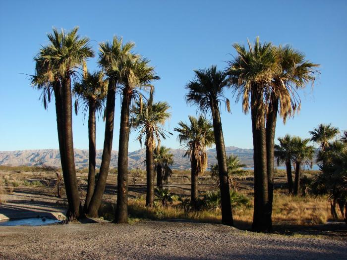 Washingtonia filifera - California Fan Palm