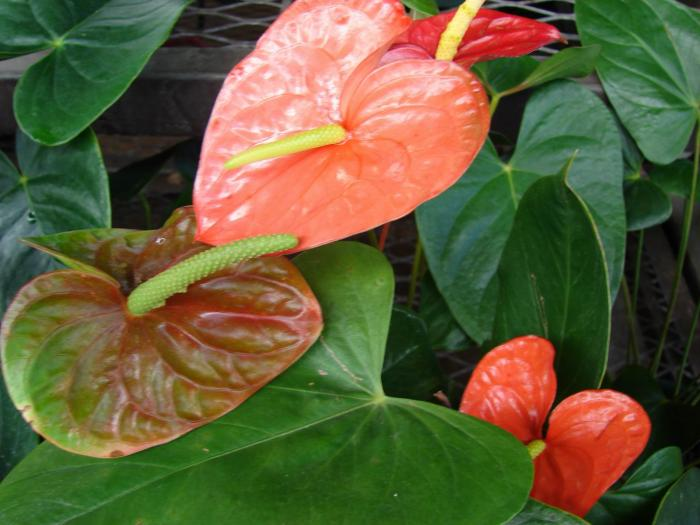 Anthurium andraeanum - Flamingo Flower