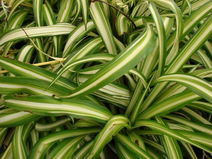 Chlorophytum image