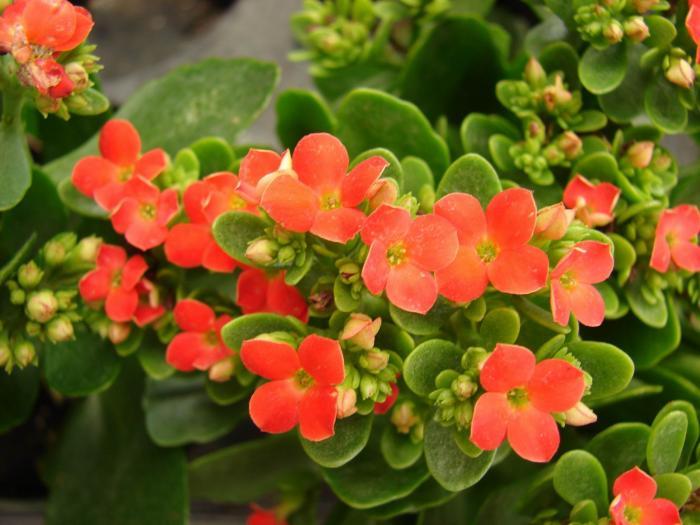 Kalanchoe blossfeldiana - kolopejka