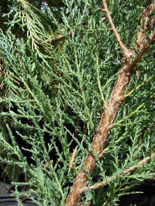 Juniper Diseases amp Insect Pests  Home amp Garden