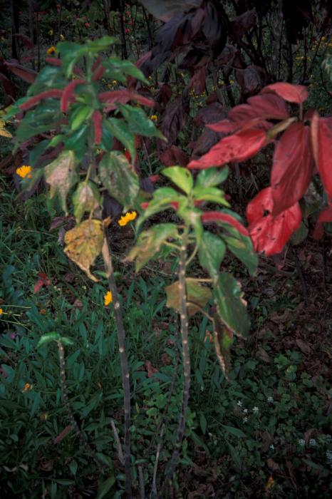 Acalypha hispida - Bristly Copperleaf