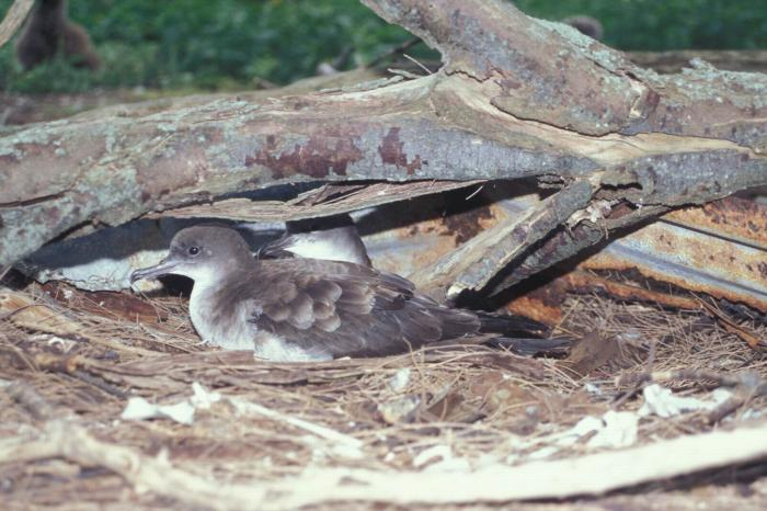 Puffinus pacificus - Wedge-tailed Shearwater
