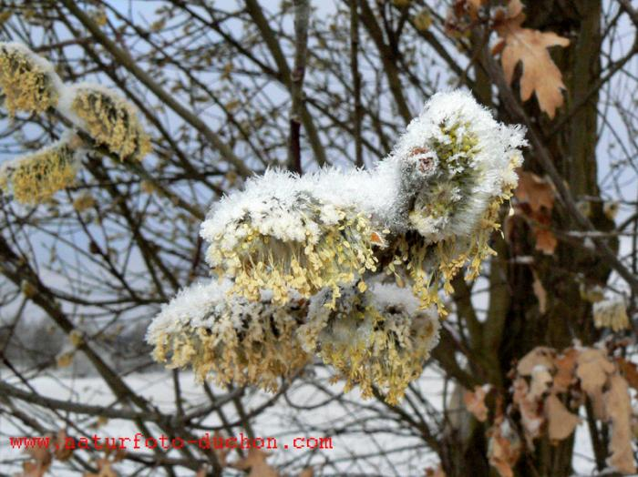 Salix caprea - Goat Willow