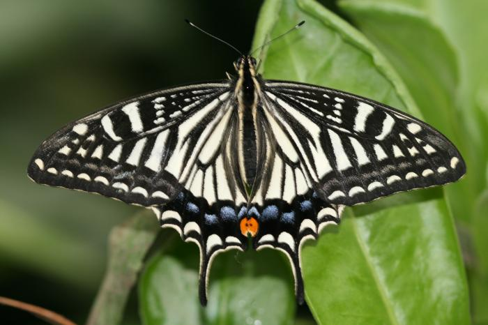 Papilio xuthus - Asian Swallowtail