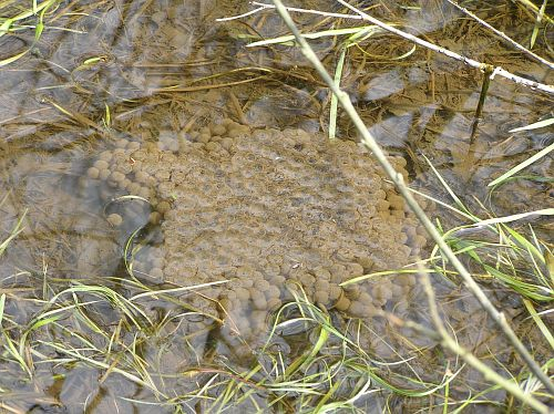 Rana temporaria - European Common Frog