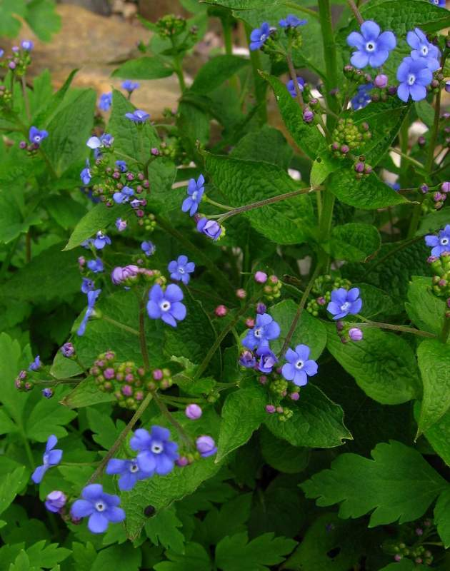Brunnera macrophylla - Great Forget-me-not