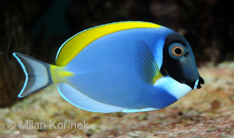 Image acanthurus leucosternon powder blue tang for Blue tang fish facts