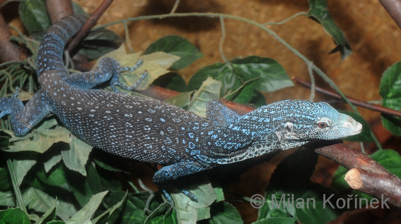 Varanus macraei - Blue Tree Monitor