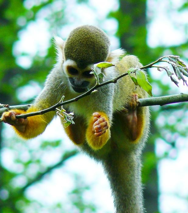 Saimiri sciureus - Common Squirrel Monkey