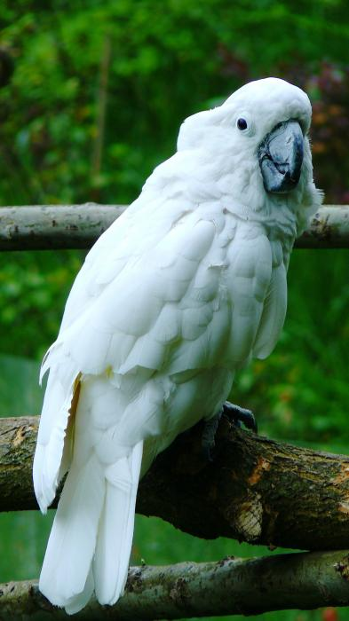 Cacatua alba - White Cockatoo