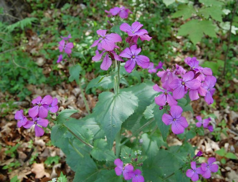 Lunaria annua (Annual ...