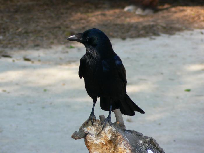Corvus corone - Hooded Crow