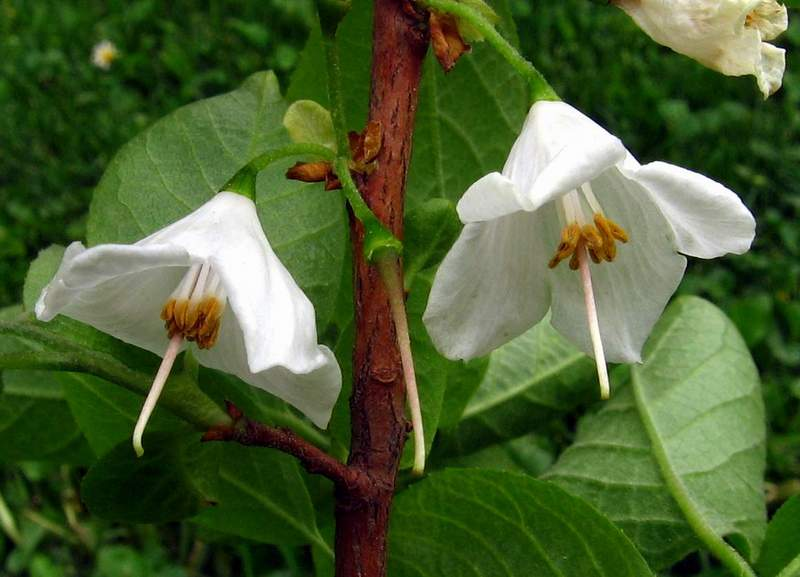 styracaceae halesia carolina carolina silverbell
