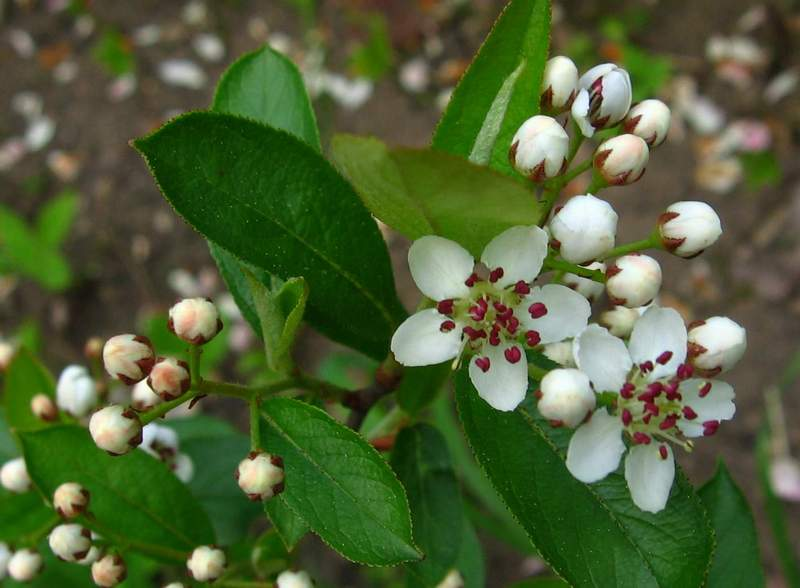 Aronia × prunifolia - Purple Chokeberry