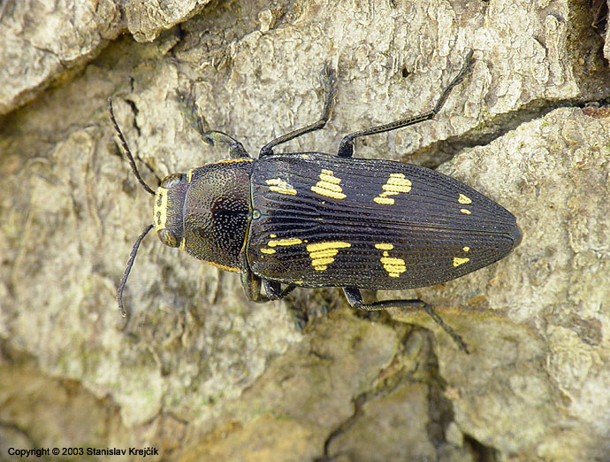 Buprestis novemmaculata - Painted Jewel Beetle