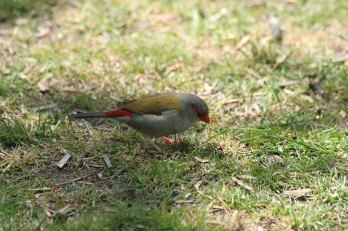 Neochmia temporalis - Red-browed Waxbill