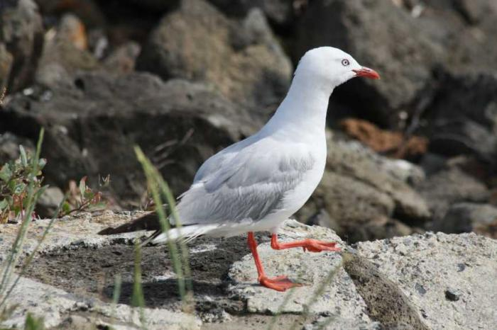 Chroicocephalus scopulinus - Red-billed Gull