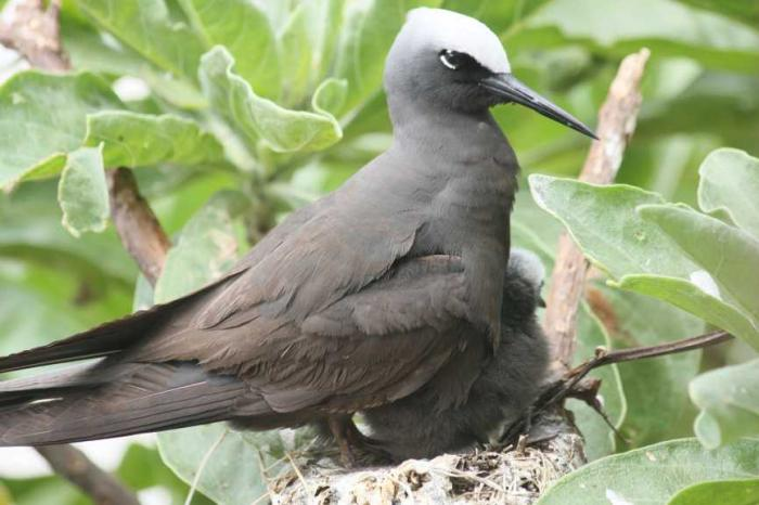 Anous minutus - Black Noddy