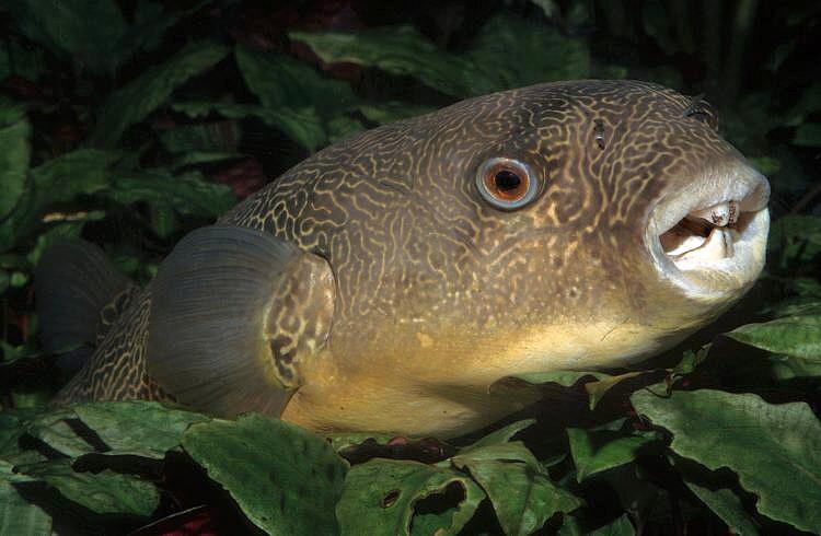 Image tetraodon mbu fresh water puffer fish for Fresh water puffer fish