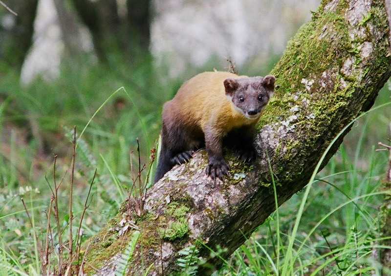 Martes flavigula chrysospila - Formosan Yellow-throated Marten