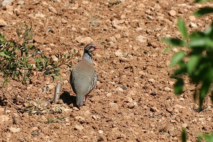 Alectoris rufa - Red-legged Partridge
