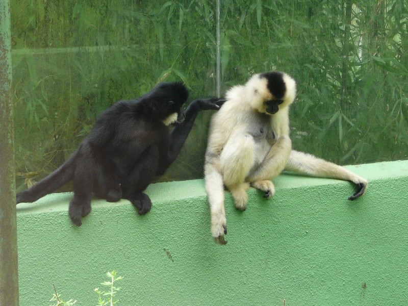 Nomascus gabriellae - Yellow-cheeked Gibbon