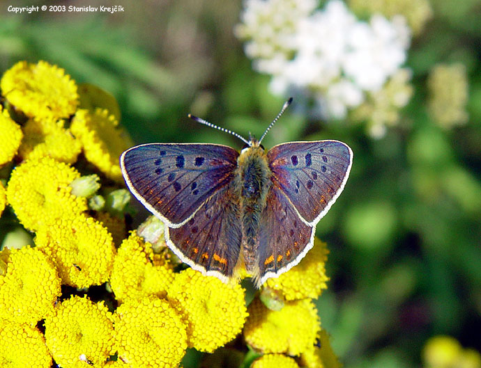 Lycaena tityrus - Sooty Copper