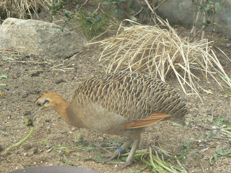 Rhynchotus rufescens - Red-winged Tinamou