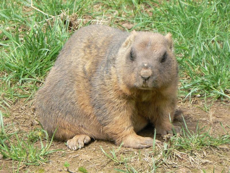 Marmota bobak - svišť bobak