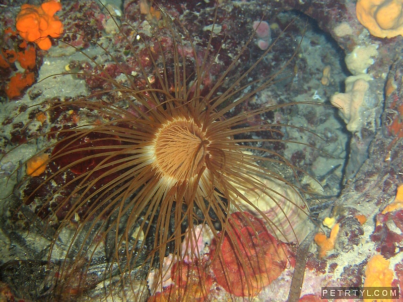Cerianthus membranaceus - Colored Tube Anemone