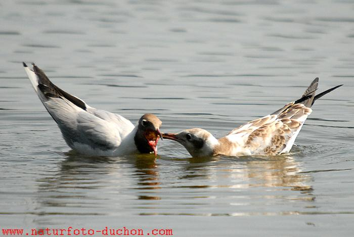 Chroicocephalus ridibundus - Common Black-headed Gull
