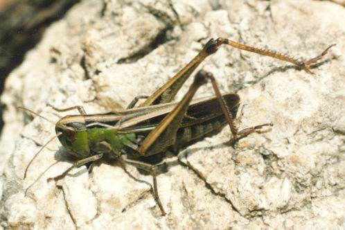 Stenobothrus lineatus - Stripe-winged Grasshopper
