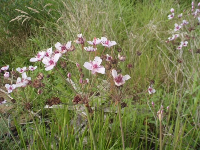 Butomus umbellatus - Flowering-rush
