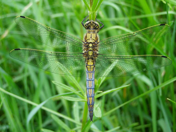 Orthetrum cancellatum - Black-tailed Skimmer