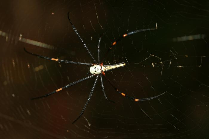 Nephila pilipes - Giant Woodspider