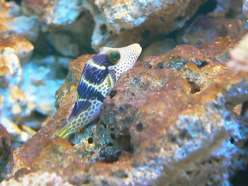Canthigaster valentini - Banded Toby