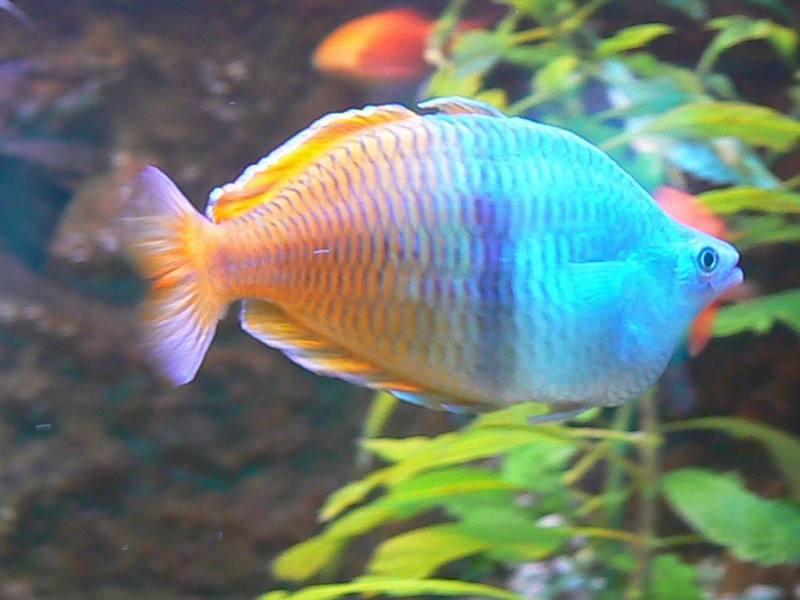 Dwarf Rainbowfish High Definition Wallpapers Cool Nature
