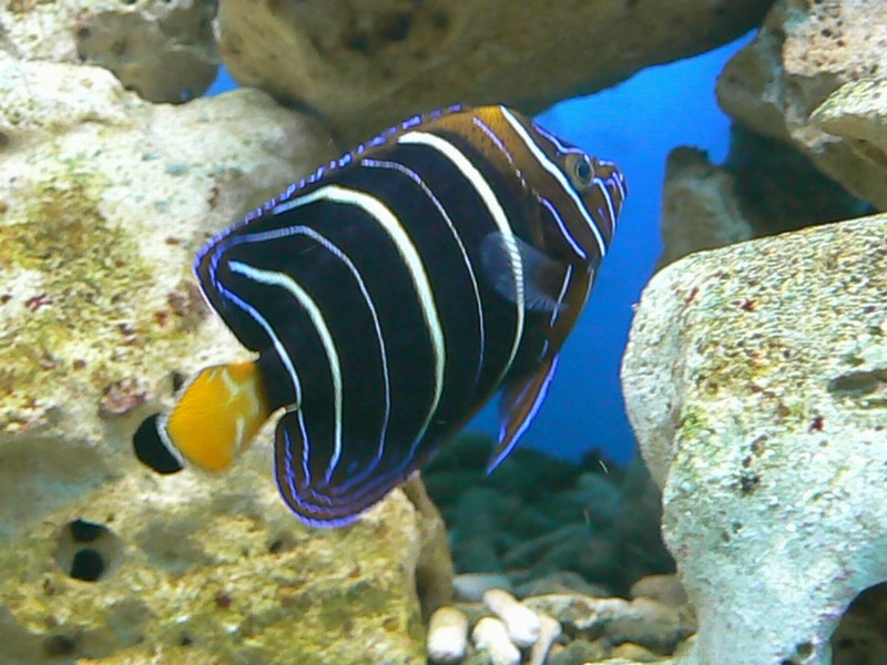 Pomacanthus chrysurus - Ear-spot Angelfish