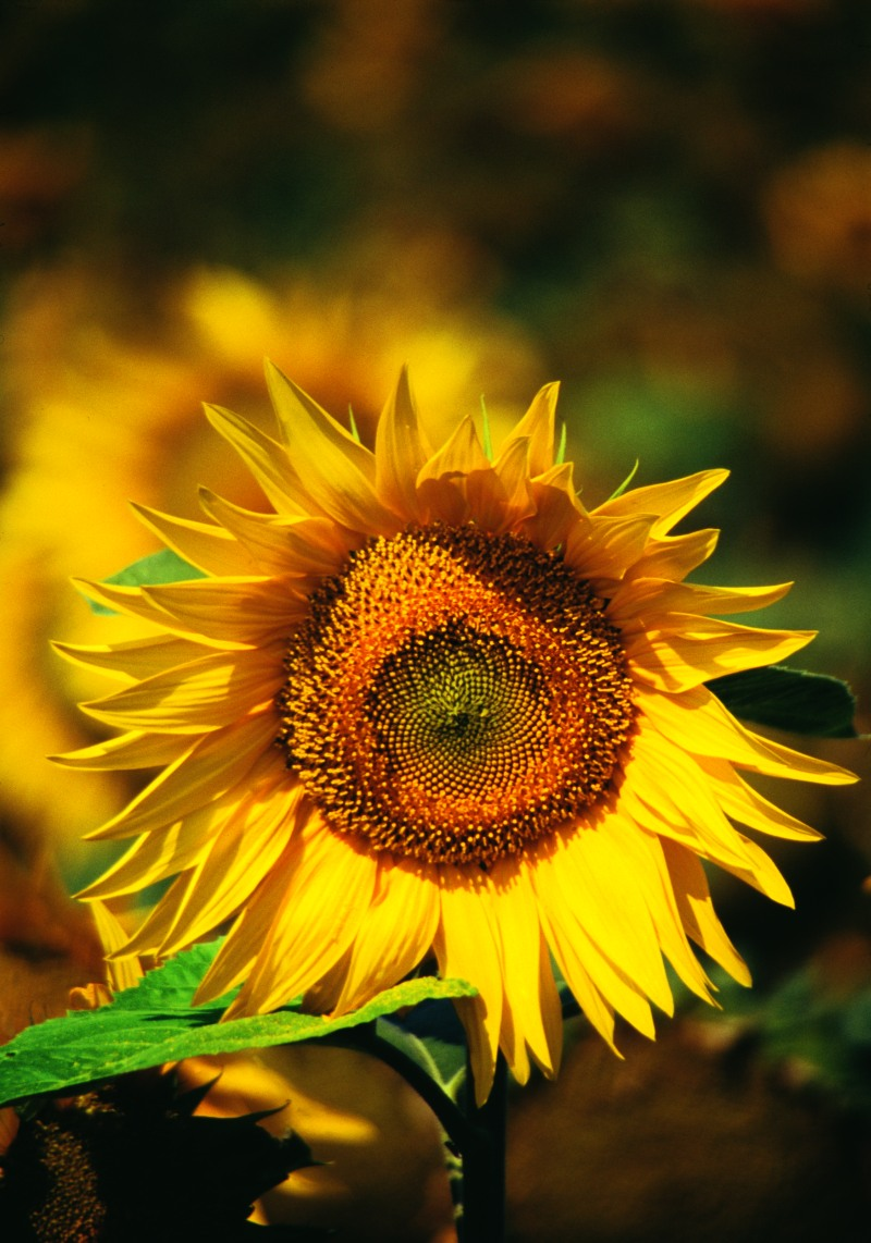 Helianthus annuus - Sunflower