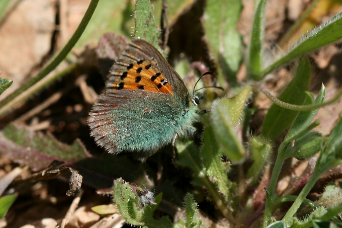 Tomares ballus - Provence Hairstreak
