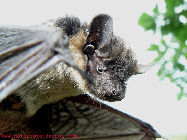 Vespertilio murinus - Parti-coloured Bat