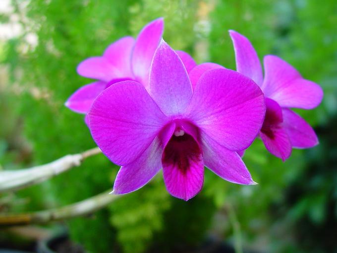 Image Dendrobium Phalaenopsis Cooktown Orchid Biolib Cz