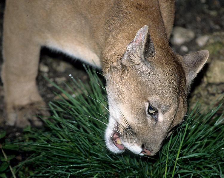 Puma concolor - puma americká