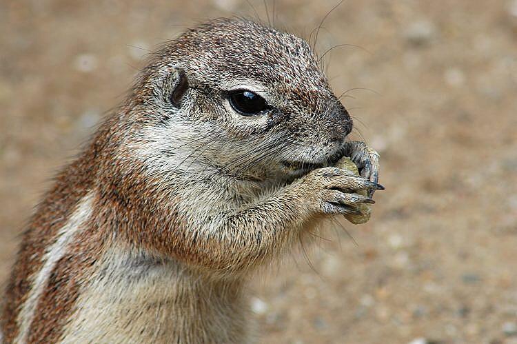 Très Image - Xerus inauris (South African Ground Squirrel) | BioLib.cz HZ95