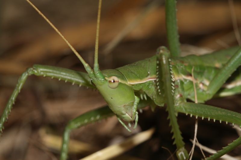 Saga pedo - Predatory Bush Cricket
