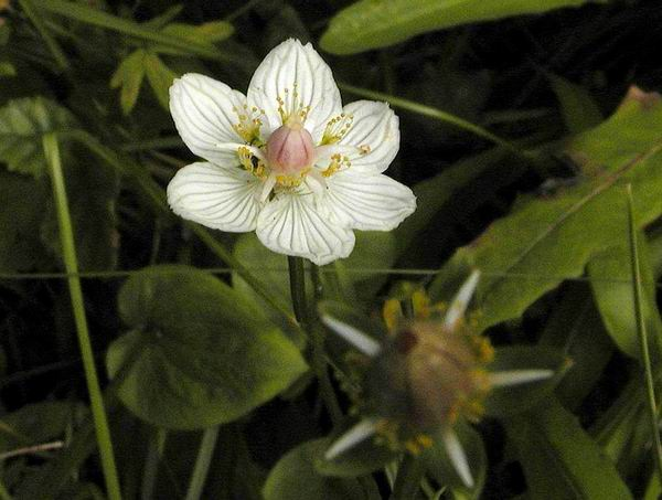 Parnassia palustris - Grass-of-parnassus